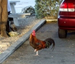 Chickens in the parking lots - all of them.