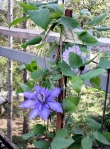 The new kid on the deck - a lilac clematis.