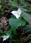 The lovely trillium lily