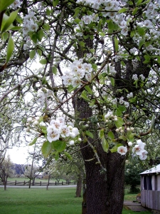 Spring fruit blossoms brighten a grey day