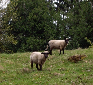 The famous Salt Spring lambs