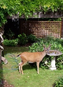 Deer in the front yard, getting a swig from the fountain.