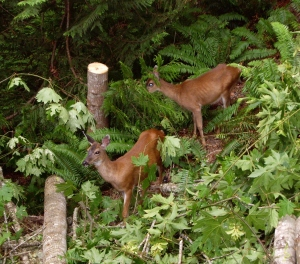 A couple of local girls stop by for a bite of maple leaf. So Canadian of them.
