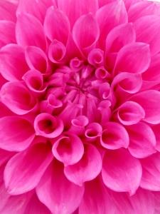 England 2012 dahlia closeup
