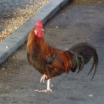 Rooster on the loose