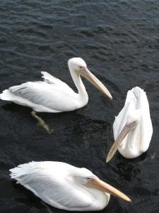 2016-london-pelicans-vert